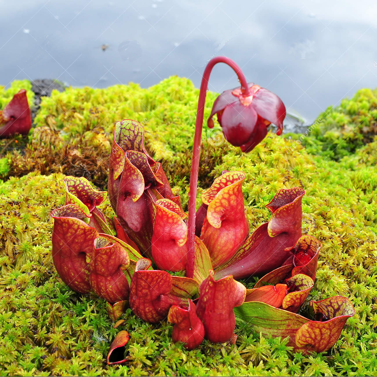 "Sarracenia purpurea, the ""Soldier's Drinking Cup"", is a delicate carnivorous plant found throughout the LOC"